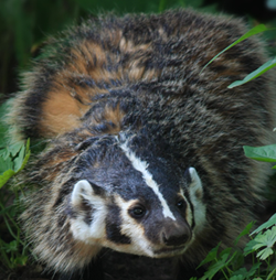 """Our State Mascot – The Badger"""