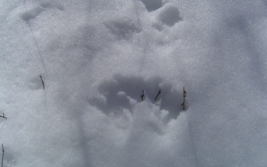 Animal Tracking on Snowshoes(snow permitting)